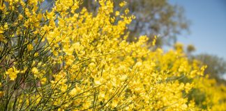 Ракитники — хороши весь год, но особенно весной