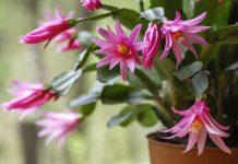 Рипсалидопсис — весеннецветущий родственник шлюмбергеры