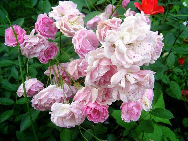 Холодные позднелетние росы портят цветки