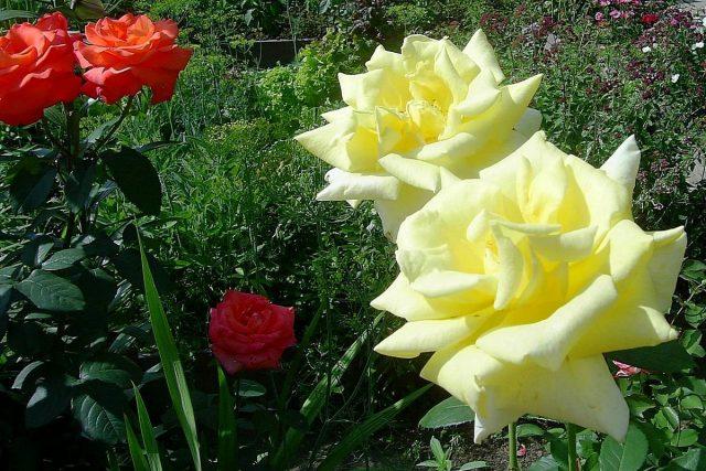 Розы любят свет и тепло