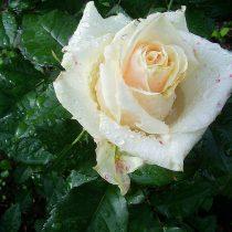 Этой розе дождливый климат не подошёл
