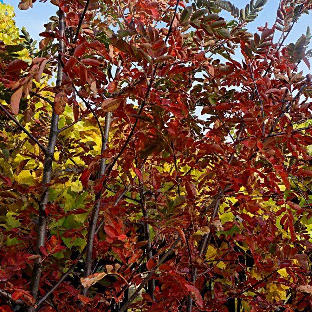 Осенняя окраска рябины сладкоплодной