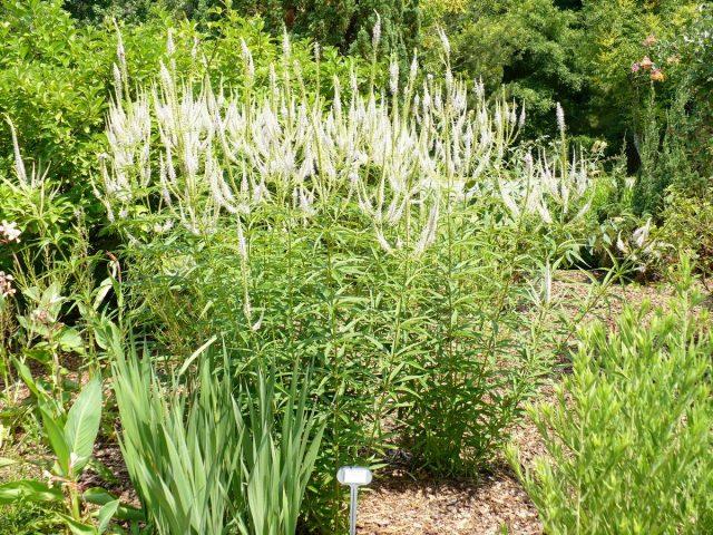 Вероникаструм виргинский в саду