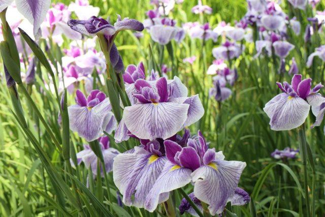 Ирис мечевидный (Iris ensata)