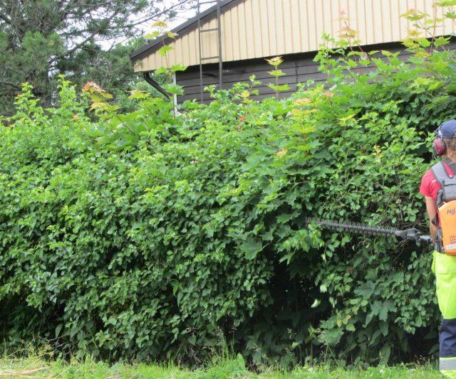 Изгородь из боярышника легко контролируется обрезкой