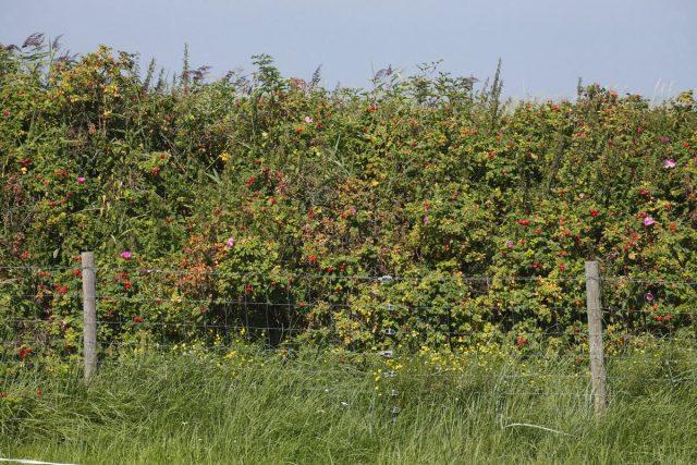Живая изгородь из шиповника