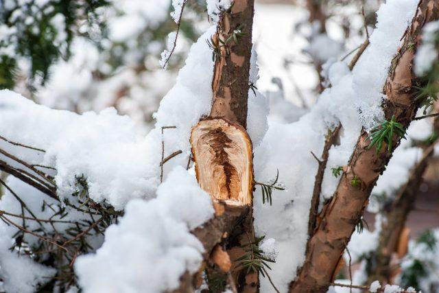 Зимние травмы деревьев и кустарников — проблемы и решения