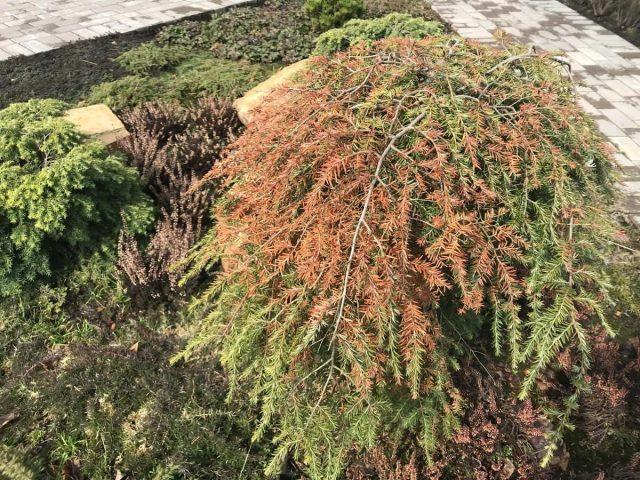 Зимние «ожоги» обычно наблюдаются в конце зимы или ранней весной на вечнозеленых хвойных растениях