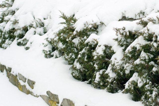 Большой вес снега и льда может привести к разваливанию кроны