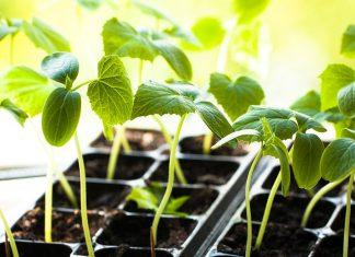Огурец-молодец — как получить здоровую рассаду для теплицы