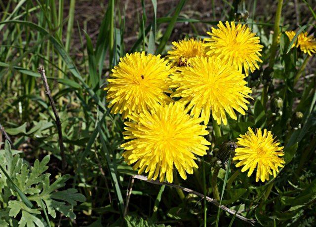 Одуванчик (Taraxacum officinalis)