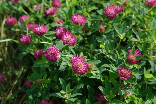 Клевер (Trifolium)