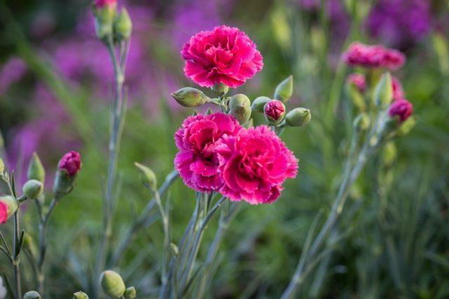 Гвоздика (Dianthus caryophyllus)