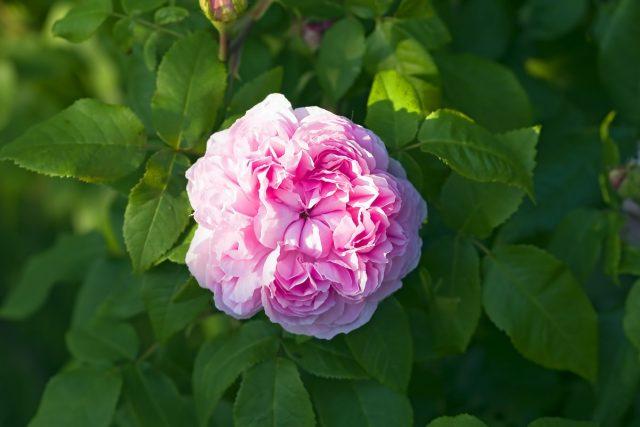 Роза (Rosa rugosa)