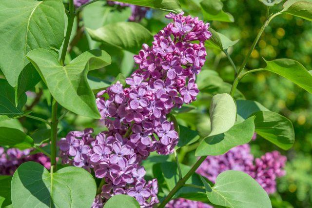 Сирень (Syringa vulgaris)