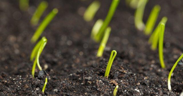 Растущий лук