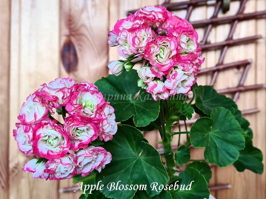 Apple-Blossom-Rosebud3