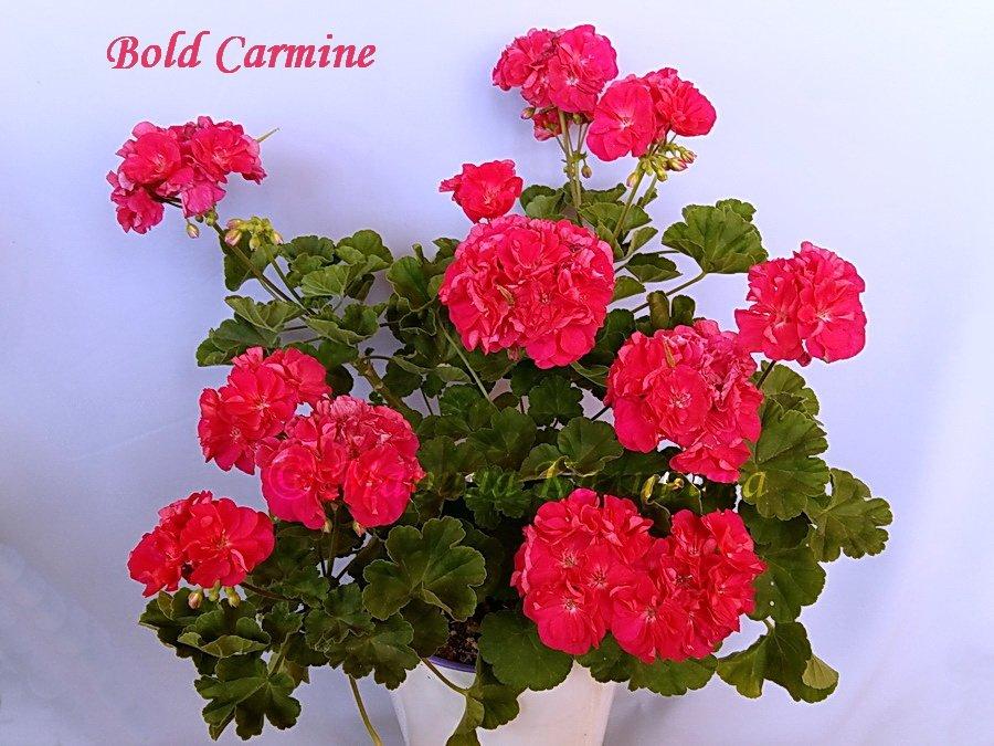 Bold-Carmine4
