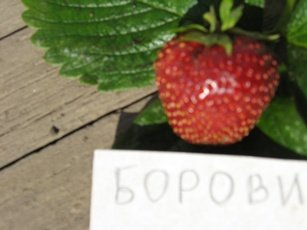 Borovitskaya-yag-s