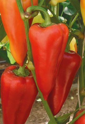 Высокоурожайный перец «Катрин»