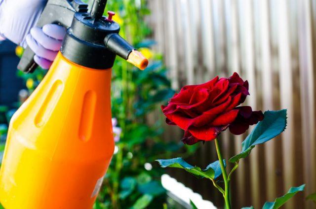 Обработка роз от вредителей