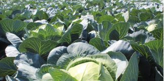 Похрустим? Полезные свойства капусты