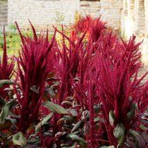 Амарант метельчатый, или багряный (Amaranthus paniculatus)