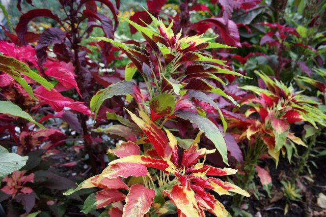 Амарант трёхцветный (Amaranthus tricolor)