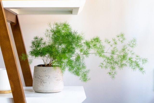 Идеальный вариант для аспарагуса сетацеуса — полутень, мягкий свет северных окон или середина комнат с южными окнами