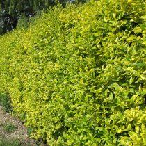 Бирючина овальнолистная (Ligustrum ovalifolium), сорт «Ауреум» (Aureum)