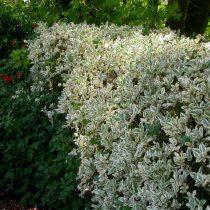 Бирючина овальнолистная (Ligustrum ovalifolium), сорт «Аргентеум» (Argenteum)