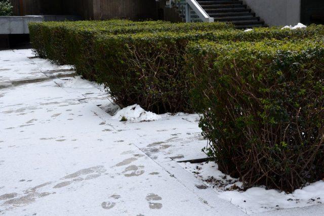 В средней полосе бирючина является полувечнозеленым растением