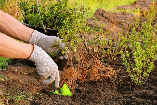 Получить более плотную и густую изгородь можно, посадив кустики бирючины зигзагообразно в два ряда