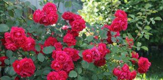 Чайно-гибридные и плетистые розы — характеристики сортов для разных регионов