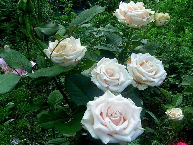 Роза «Андрэ Ленотр» (Andre Le Notre) в мокрую погоду