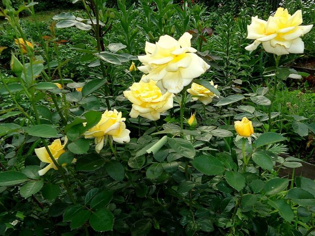 Роза «Беролина» (Berolina)