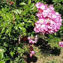 Веточка розы «Герман Шмидт» (Hermann Schmidt)