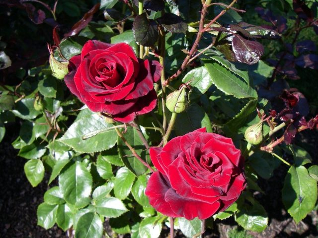 Роза «Блэк Мэджик» (Black Magic)