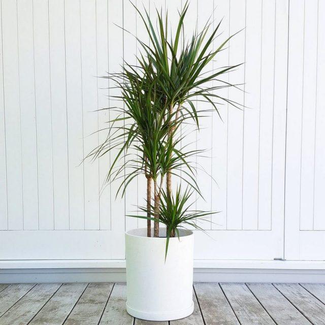 Драцена маргината, или окаймленная (Dracaena marginata)