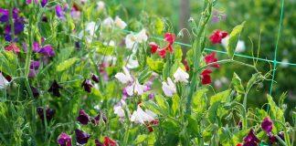 Душистый горошек — особенности выращивания и лучшие сорта