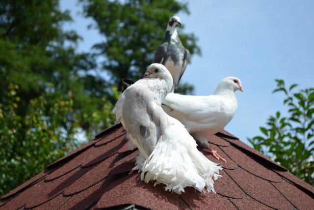 В России голубеводство начало развиваться в 16 веке
