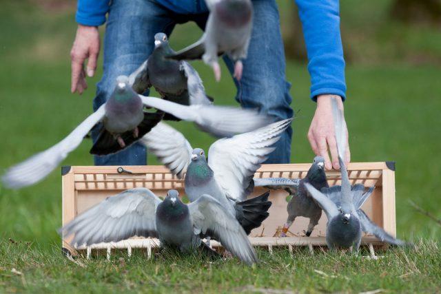 Cпортивный голубь может развивать скорость более чем 2 километра за одну минуту