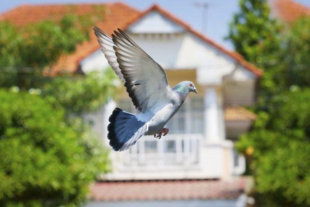 Если голуби летают рядом с домом, в котором проходит свадебный пир, то это принесет молодым счастье