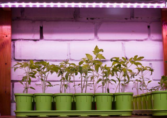 Для качественной ранней рассады томата нужно досвечивание