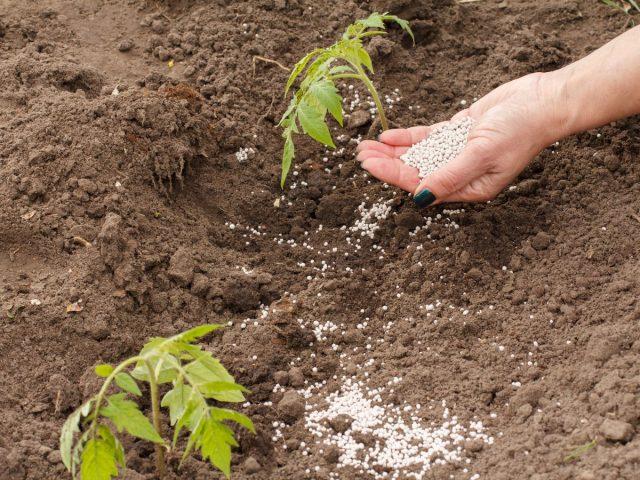 Сладости плодам томата добавляют калийно-фосфорные удобрения