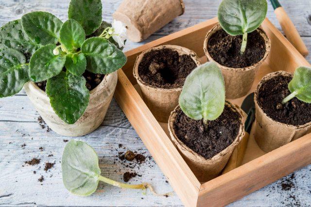 Какие комнатные растения легко размножить листом?