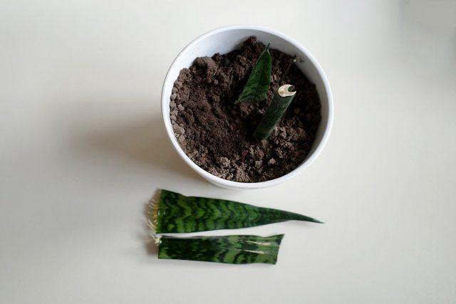 Надежный способ укоренения отрезков листьев сансевиерии — в почве или песке