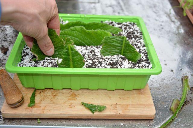 У стрептокарпуса успешно укореняются и молодые листья с небольшим черенком, и даже их фрагменты