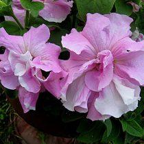 Петуния (Petunia), сорт «Дабл Каскад Орхид Мист» (Double Cascade Orchid Mist)