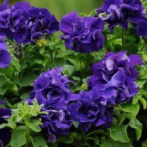 Петуния (Petunia), сорт «Дабл Каскад Блю» (Double Cascade Blue)